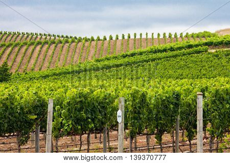 Green vineyard rows on rolling hills in Napa Valley California. Rows of lush green grape vines on the horizon in Napa. Rolling hills of a Carneros vineyard.