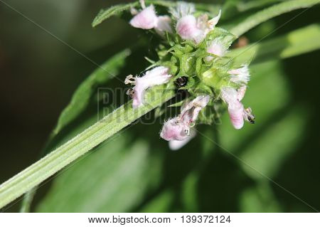 Blossoms Of The European Bugleweed (lycopus Europaeus)