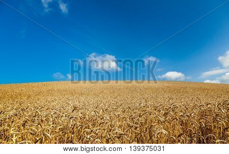 Field of ripe wheat ready for harvest