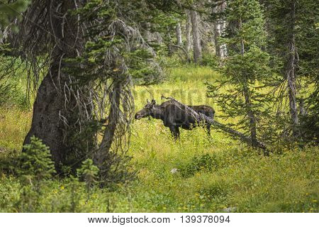 Moose standing by summer yellow wildflowers in a pine tree forest at Albion Basin, Salt Lake City, Utah