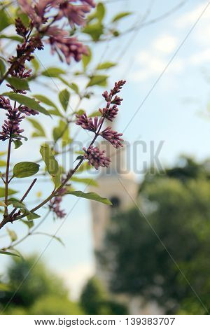 Lilac blooms. A beautiful bunch of lilac closeup. Lilac Flowering. Lilac flowers in the garden of the courtyard of russian monastery