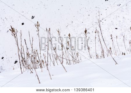 Dry Grass In The Winter. Dried Vegetation. Isolated Brown Dry Grass Over White Snow..