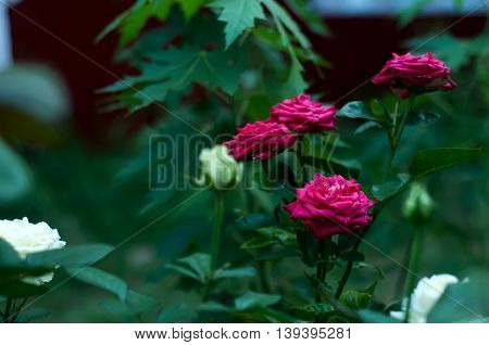 Bunch Of Red Roses On A Bush