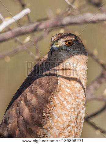 A beautiful Cooper's Hawk tolerates a close approach as it hunts for food along the South Carolina coast.