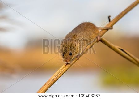 Harvesting Mouse In Reed