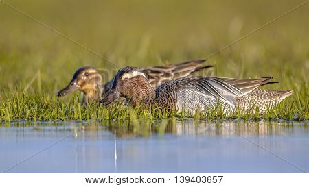 Pair Of Garganey Dabbling Duck