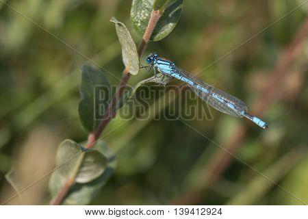 Common Bluet (Enallagma cyathigerum) male resting on a twig
