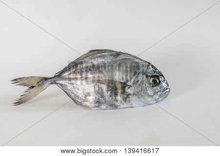 Single false trivially fish on a white background