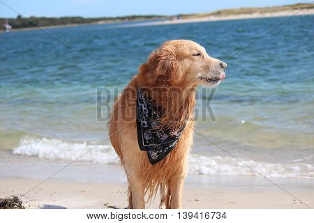full breed golden retriever sticking out his tongue while being windblown on a sandy beach