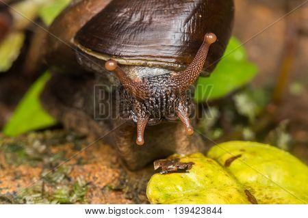 Snail , Cute Snail , Snail of Borneo , Brown Snail