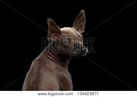 Closeup Xoloitzcuintle - hairless mexican dog breed Looking back, on Isolated Black background, Sad eyes