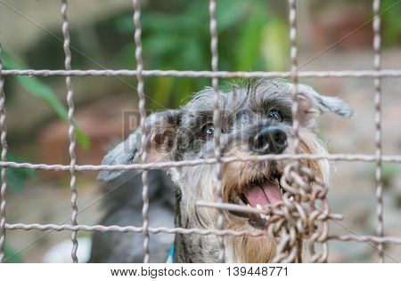 Closeup schnauzer dog want to go out the cage at the backside of house