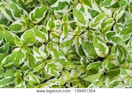 Green Pothos leaf background texture, Natural background.