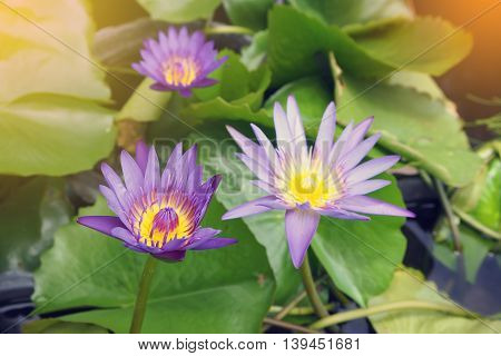Purple water lily and green leaf with sunlight effect.