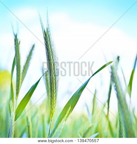 Rye field or wheat field in the sun with defocused background. Selective focus of ears of rye, nature background with copy space.
