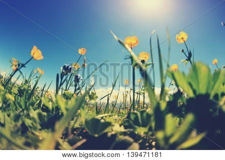 beautiful globeflowers and green grass under blue sky
