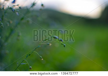 Common Flax Linum Usatissimu Flowers - And Buds - Seeds