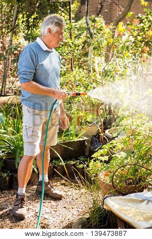 Happy mature male gardener watering plants from hose at community garden