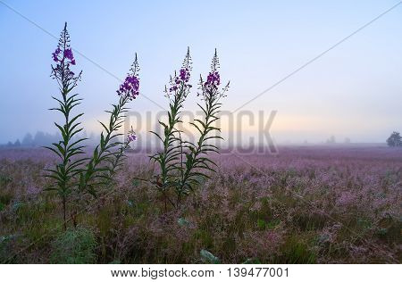 willow-herb in the early morning fog on field background