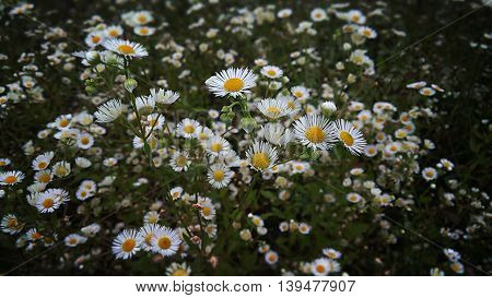 White beautiful ramones,  beautiful flowers,  summer plants