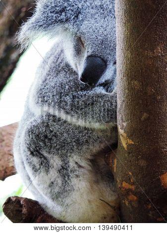 Koala bear in Singapore Zoo, taken in 2015