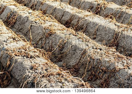 Potato ridges of clay soil with dead and dried potato tops from close just before the potato harvest at a potato field in a Dutch polder.