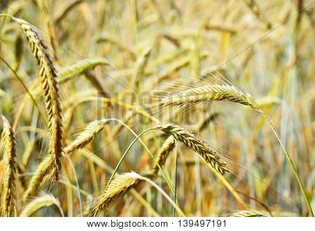 Rye field or wheat field in the sun with defocused background. Selective focus of ears of rye, nature background with copy space. Cereals plants in the sun.