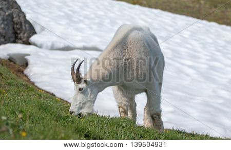 Male Billy Goat feeding next to Hurricane Hill snowfield in Olympic National Park in Washington northwest USA