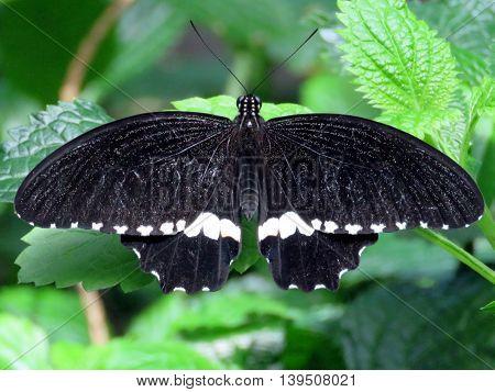 Common Mormon butterfly in garden of Niagara Falls Ontario 16 July 2016 Canada