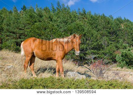 Beautiful Tatar chestnut horse near bush of wild dog-rose at autumnal season in Crimean mountains
