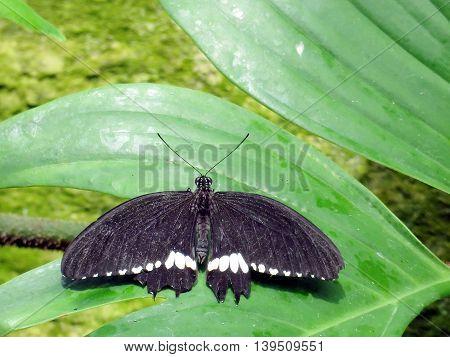 Common Mormon butterfly (Papilio polytes) in garden of Niagara Falls Ontario 16 July 2016 Canada