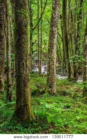 Forest Stream Among Ancient Forest