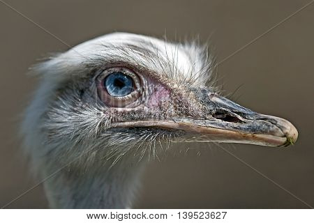 Head and eye of an ostrich on a blurred background.