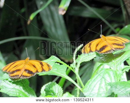 Orange Tiger Butterflies in garden of Niagara Falls Ontario 16 July 2016 Canada