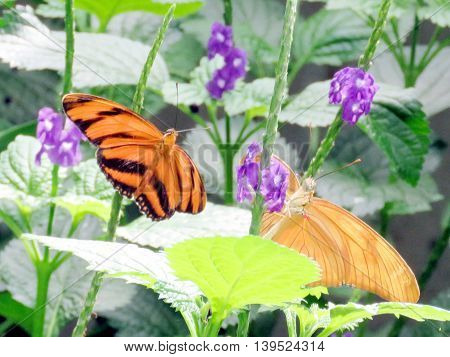 Orange Tiger Butterfly in garden of Niagara Falls Ontario 16 July 2016 Canada
