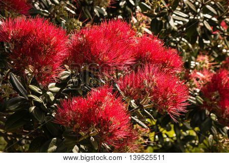 close up of Pohutukawa tree flowers in bloom