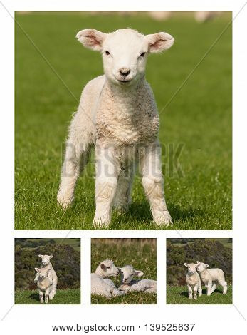 collage of little lambs on meadow at springtime