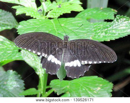 The Common Mormon butterfly in garden of Niagara Falls Ontario