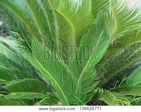 Planta Cica.  lAR   Planta  CICA. Hojas grandes, verdes y brillantes en forma de palmera. Bella planta ornamental.