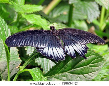 The Great Mormon butterfly in garden of Niagara Falls Ontario 16 July 2016 Canada