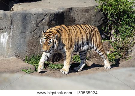 An Amur tiger (Panthera tigris altaica) paces to the left.