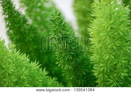 Foxtail fern green left background in the garden.