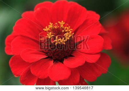 Macro of a red zinnia - Cultivar Queeny scarlet