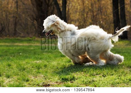 beautiful shaggy dog breed Afghan in the summer frolicking on the grass running and jumping in the evening sun