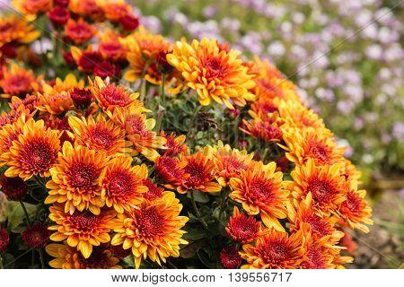 cluster of orange chrysanthemum flowers in bloom poster