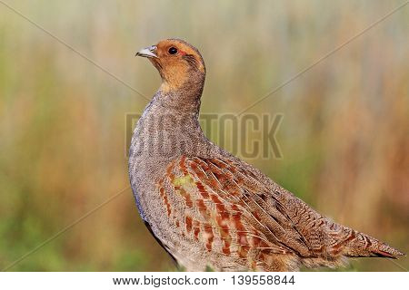 Grey partridge with a valid counter, bird hunting character, wild bird, animal