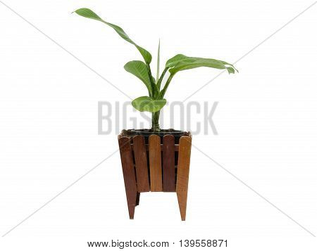 Beautiful Dieffenbachia in flowerpot isolated on white background