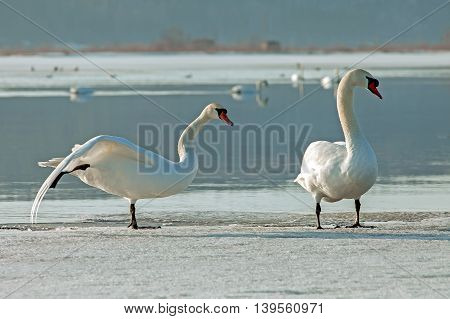 bright beautiful white swans swimming in the lake near the rural area