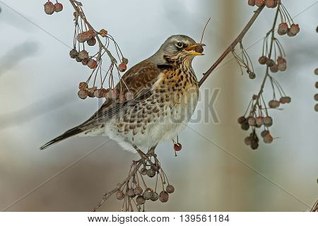 bright beautiful bird sitting on a tree branch and eats berries