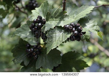 black ash grows near my house ong